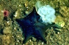 Bat Stars