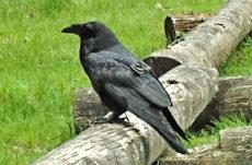 Ravens & Blackbirds